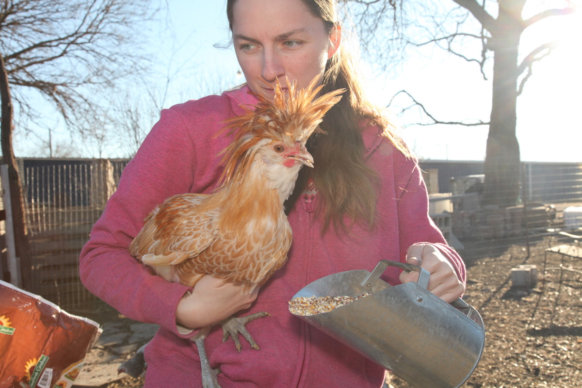 A rooster who will continue to eat even while being held is more likely to be people-friendly.