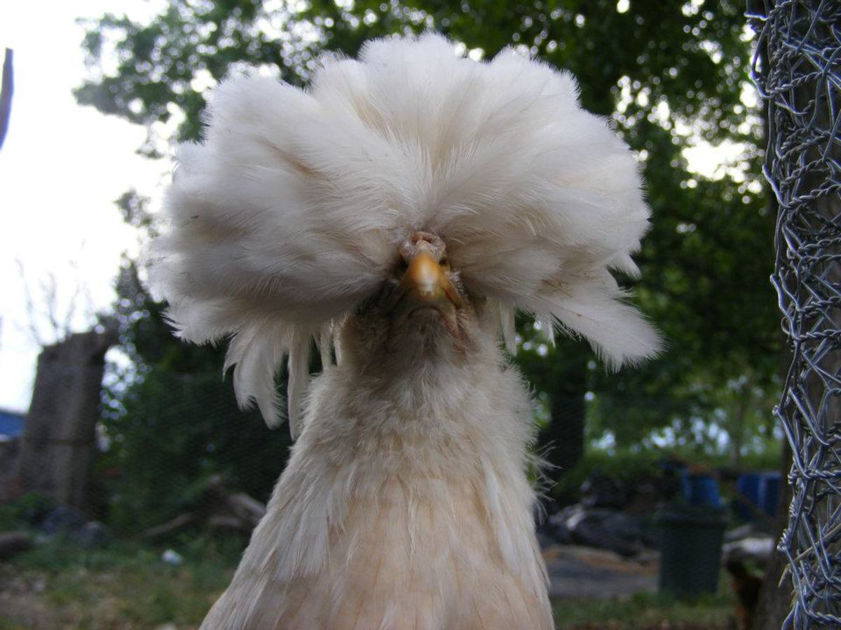 The distinctive crest of polish chickens will impress and amaze visitors to your flock.
