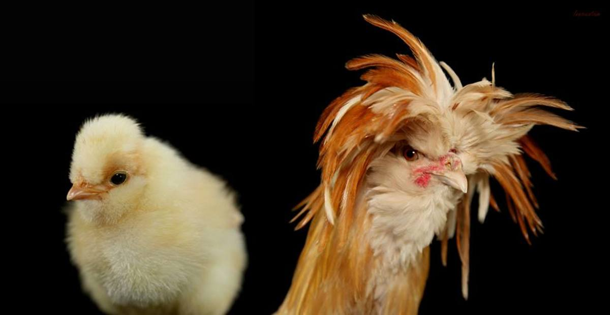 A polish cockerel at 3 days old (left) and a few months old.