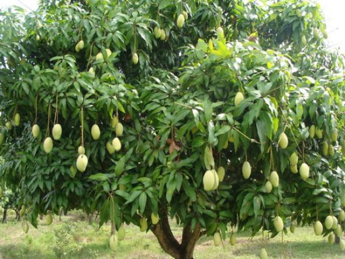 Mango Tree - Mangifera Indica