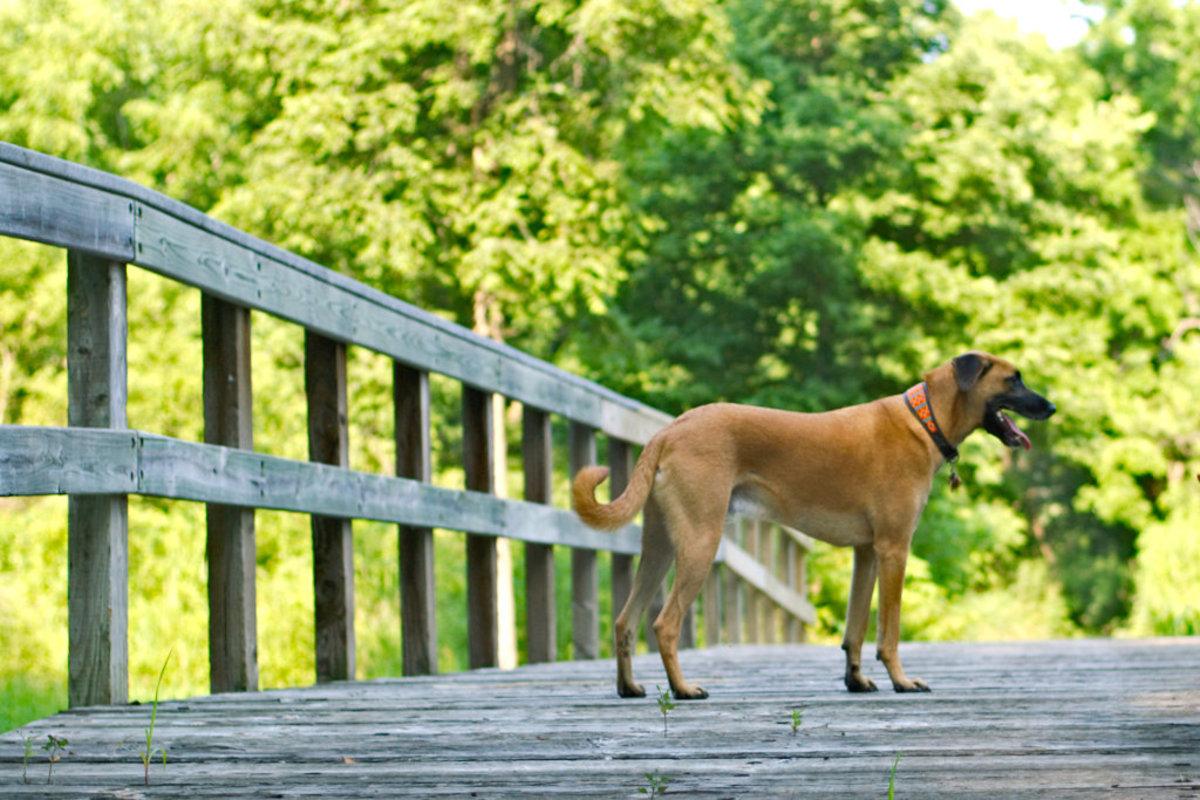 Indian Pariah  (Desi Dog)