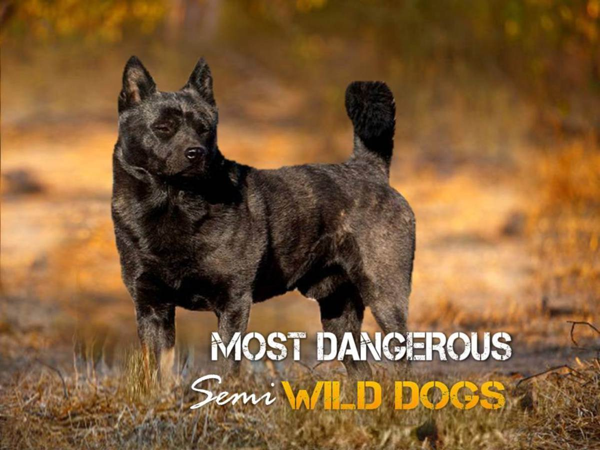 Top 10 Most Dangerous Semi Wild Dogs