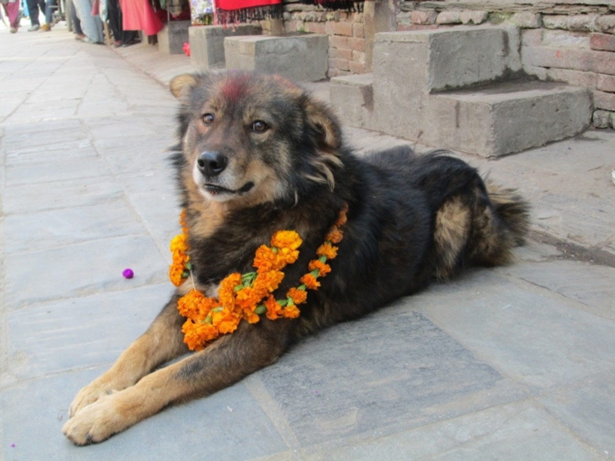 Nepali Mountain Dog or Nepali hill Dog
