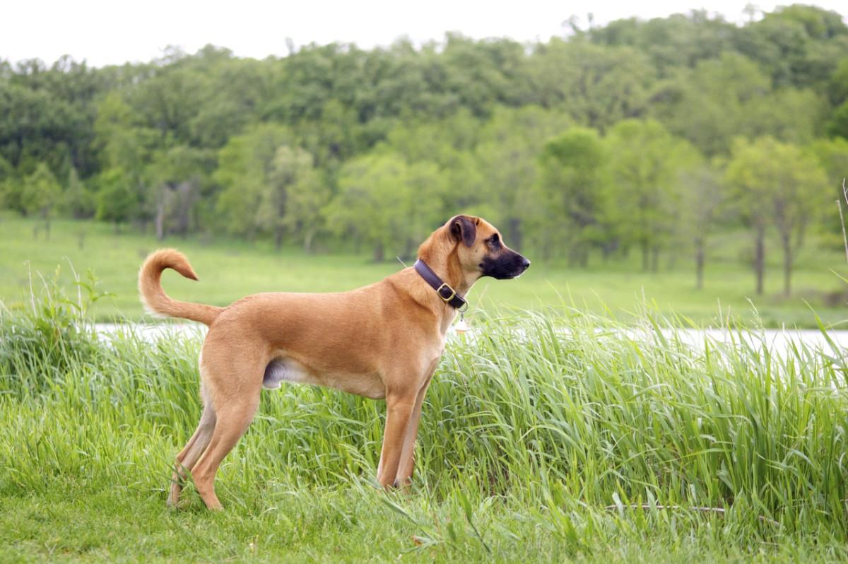 top-10-most-dangerous-semi-wild-dogs