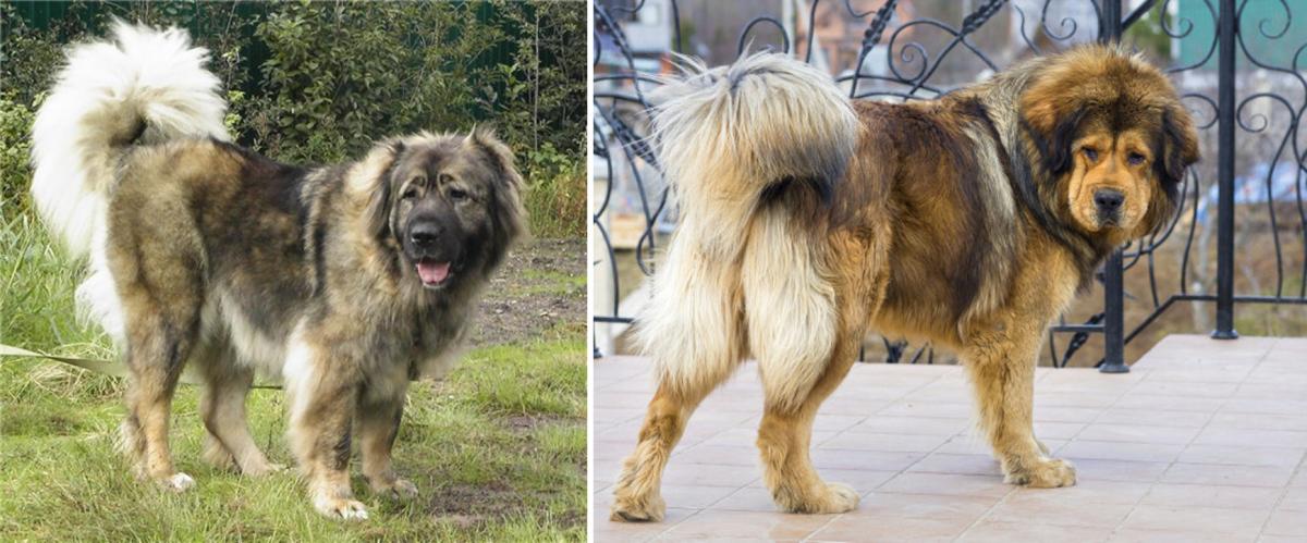 tibetan-mastiffs-ancestors-of-10-new-dog-breeds