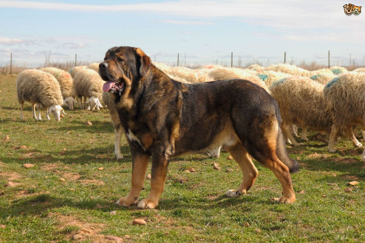 Iran Dog Breed Big