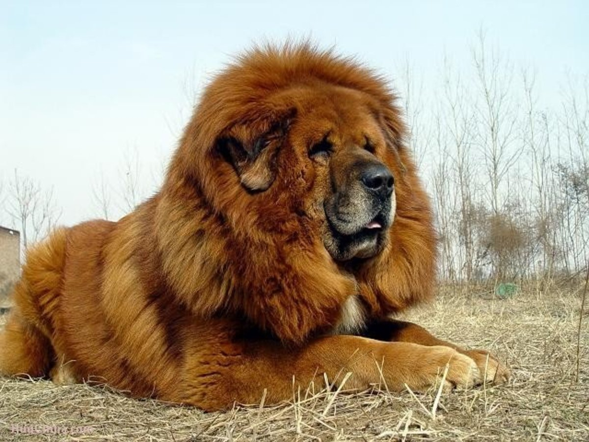 10 Dogs Developed from Tibetan Mastiff