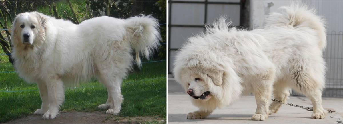 10 Dogs Developed from Tibetan Mastiff   HubPages