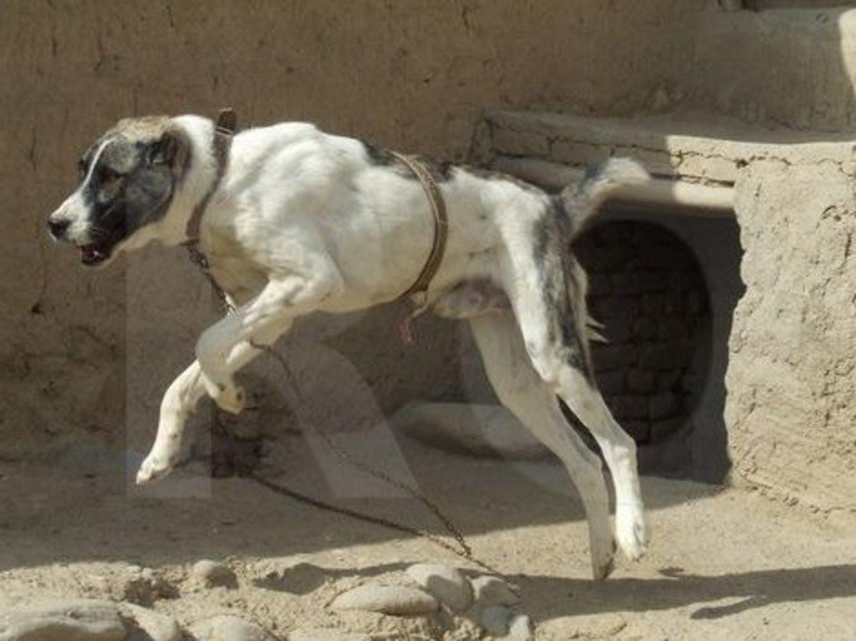 Afghan Kuchi