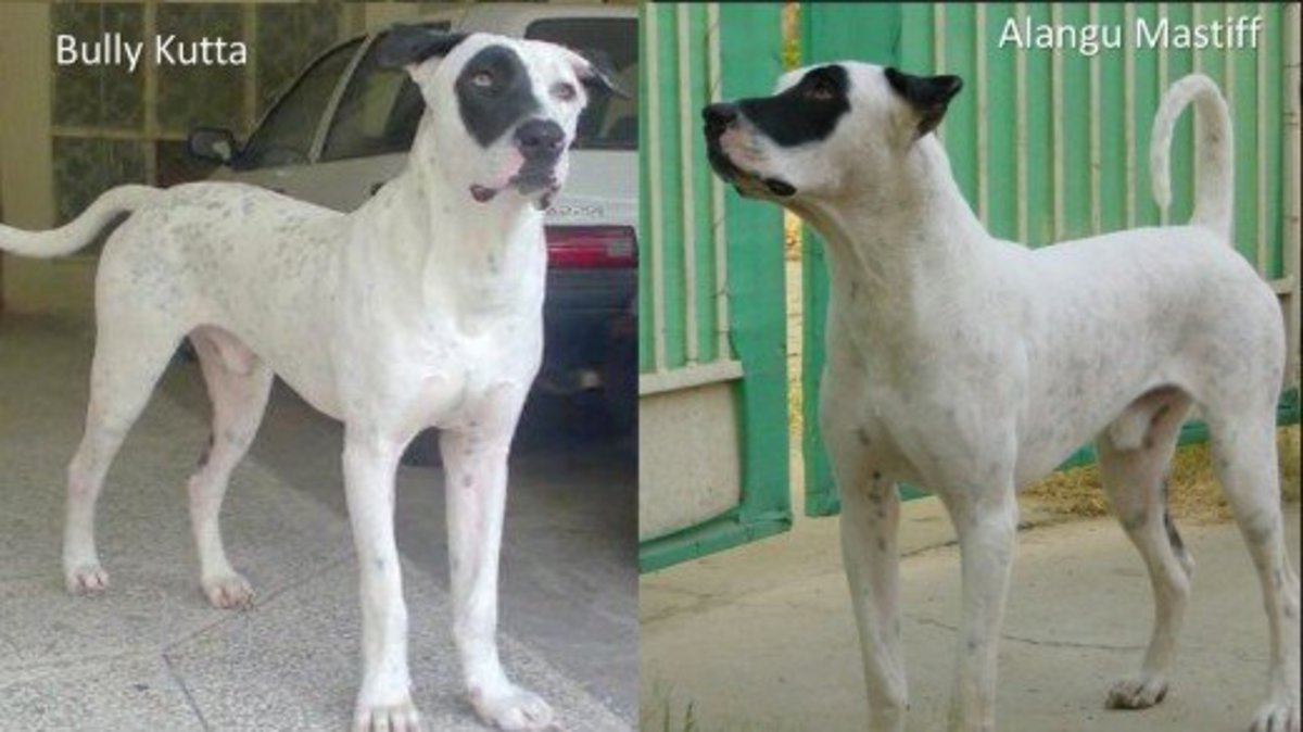 Pakistani Bully Kutta (Left) and Indian Bully Kutta (Right)