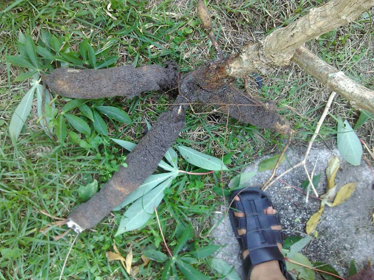 Just a few of the cassava roots being harvested.