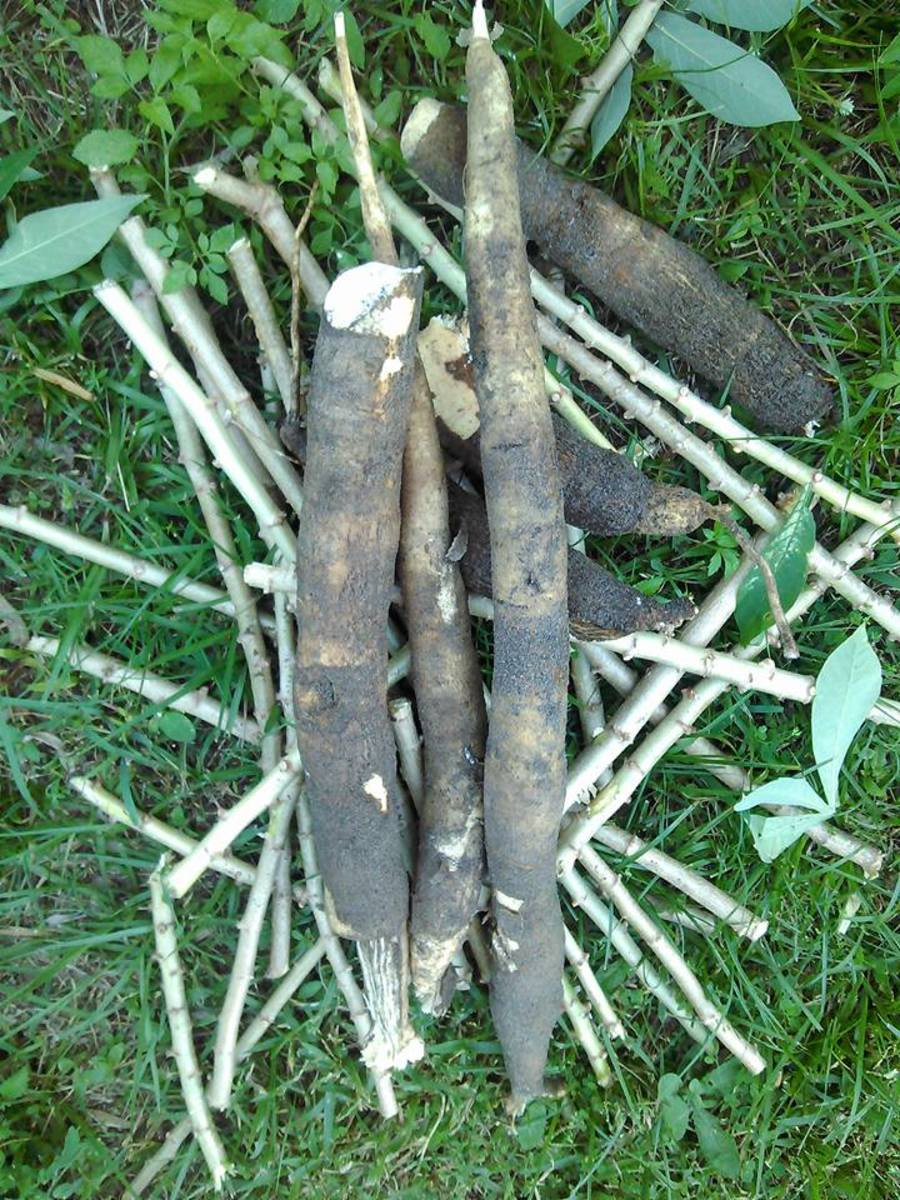 Cassava roots, plus some stems being saved for the next harvest.