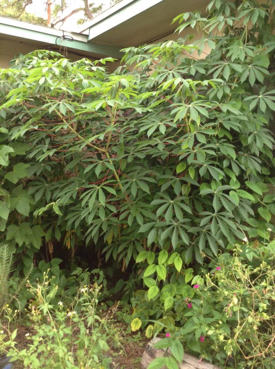 This is what the cassava patch looks like just before harvest time....about 8 months after planting.