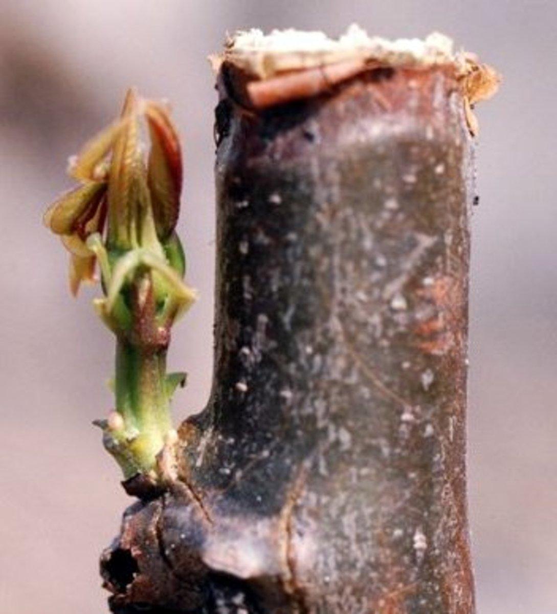 Sprouting cassava