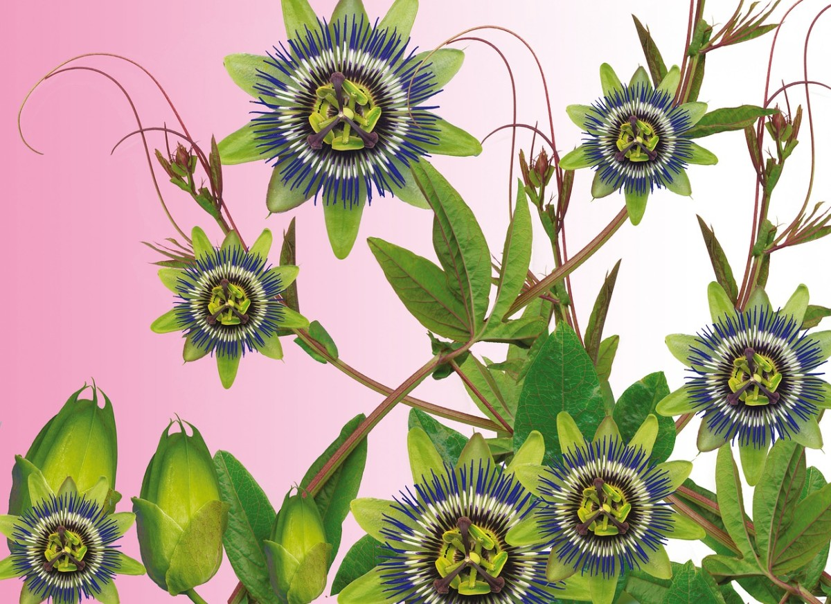 This trippy-looking plant has been shown to help lower anxiety, among other things.