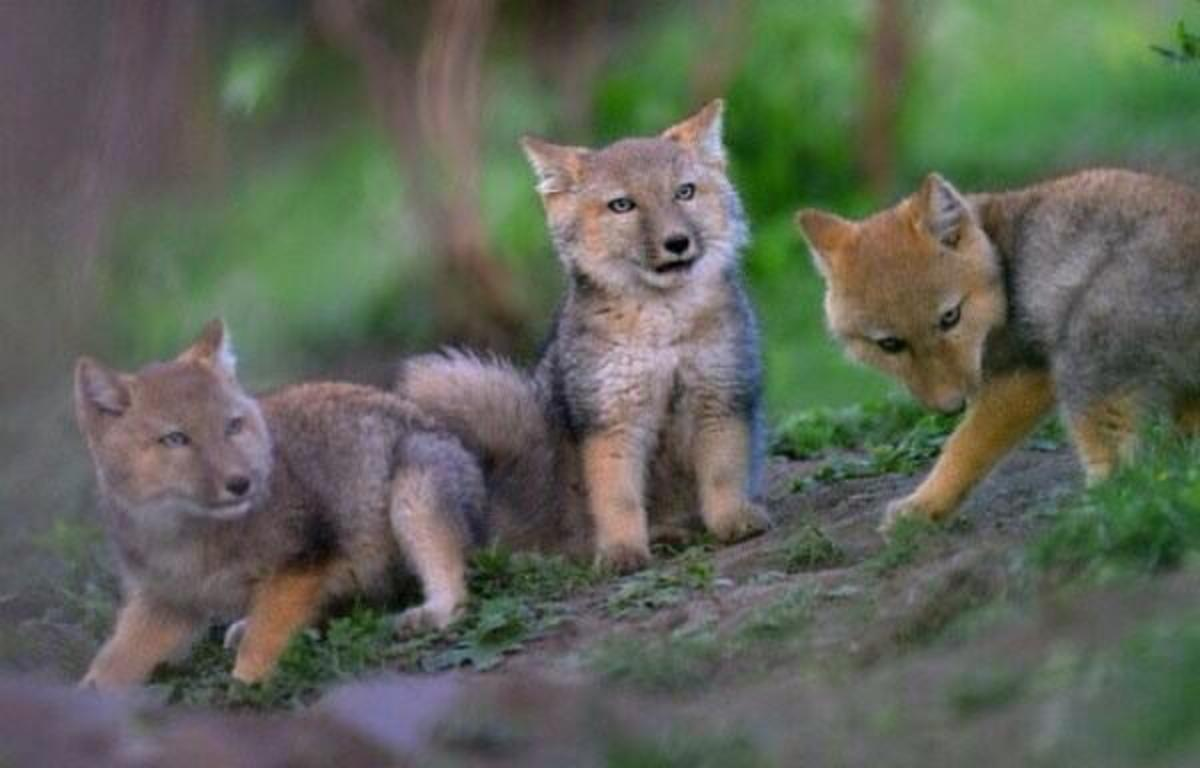 The Tibetan Sand Fox