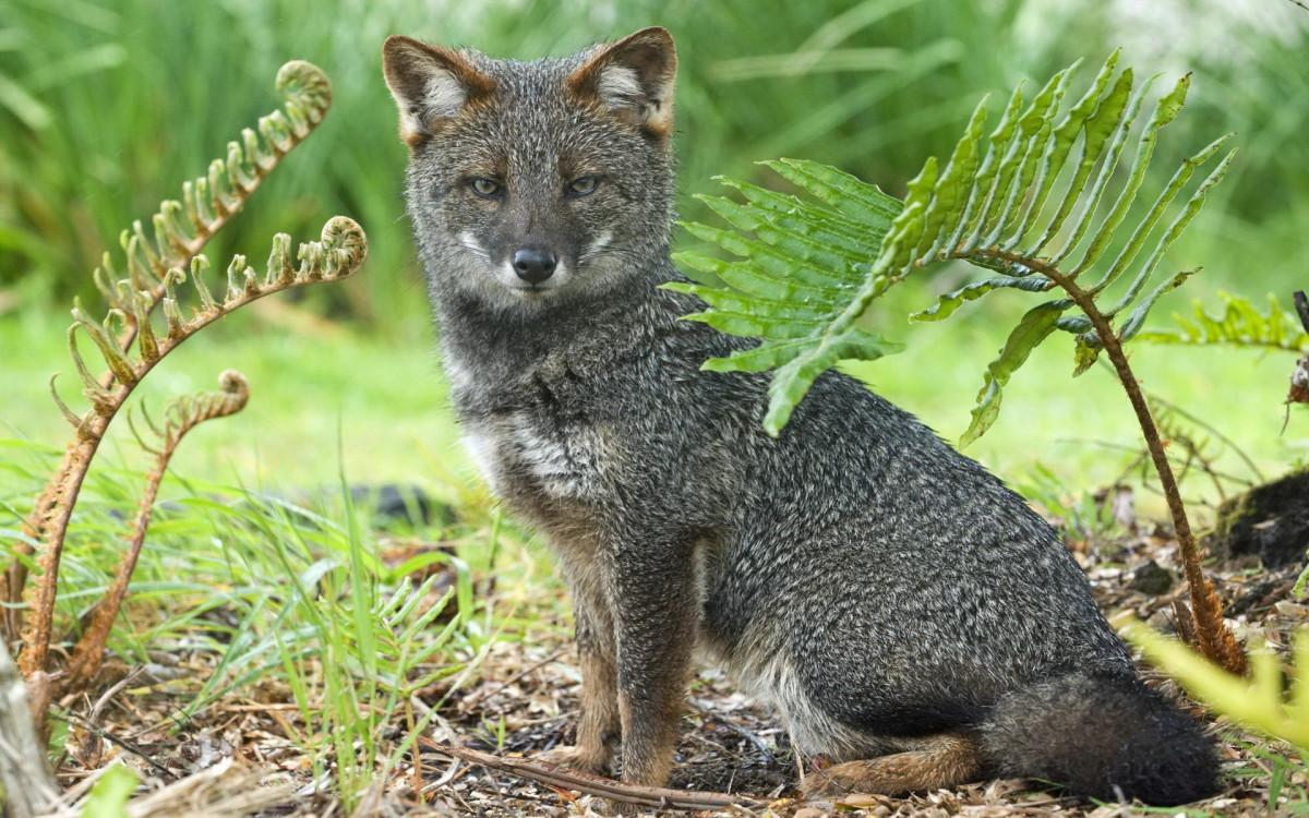 The Darwin Fox