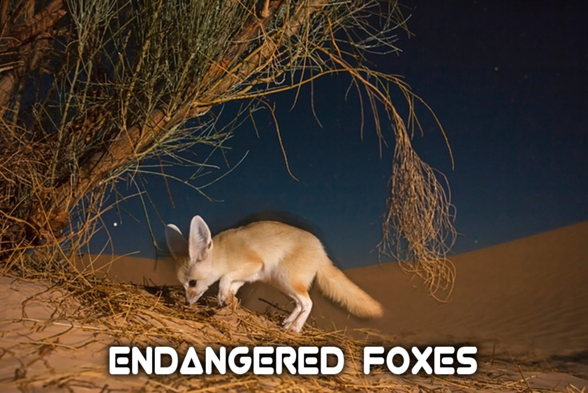 The Critically Endangered Foxes