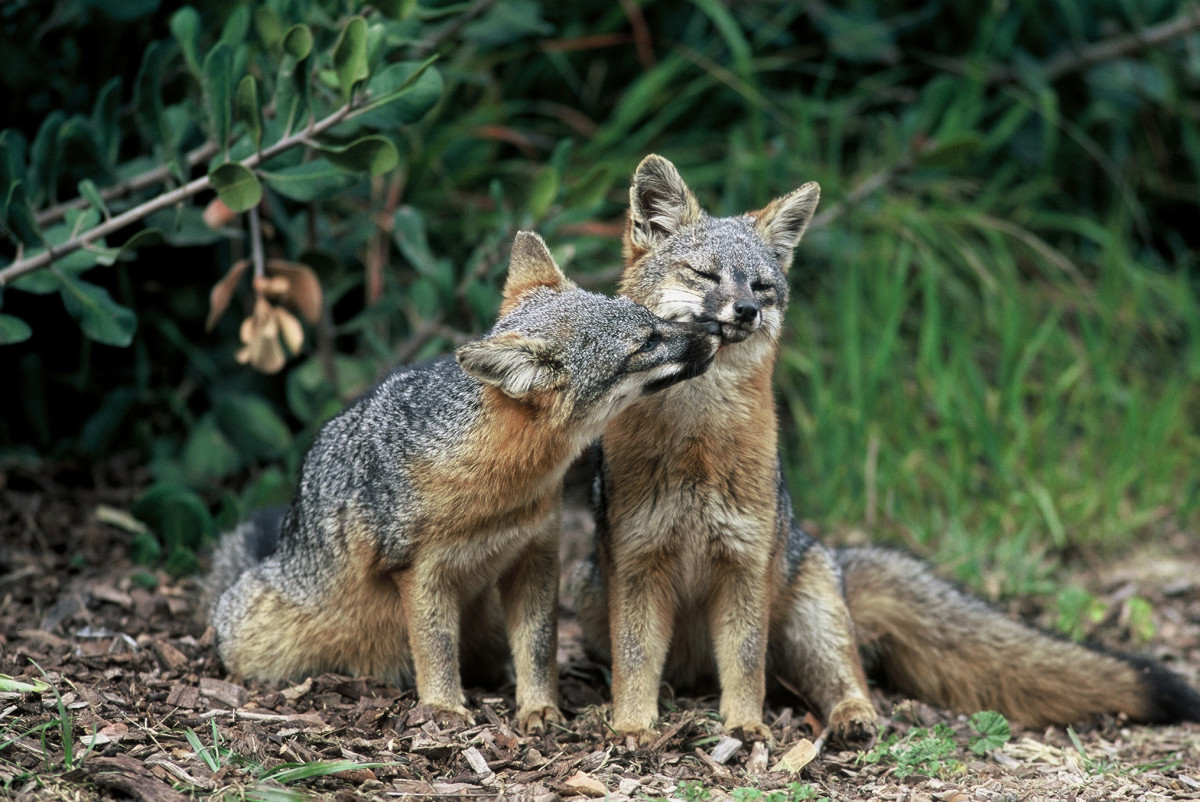Catalina Island Foxes No Longer Endangered