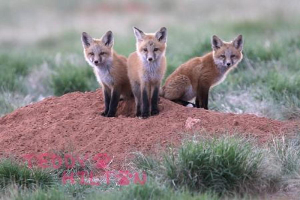 The Critically Endangered Sierra Nevada Red Fox