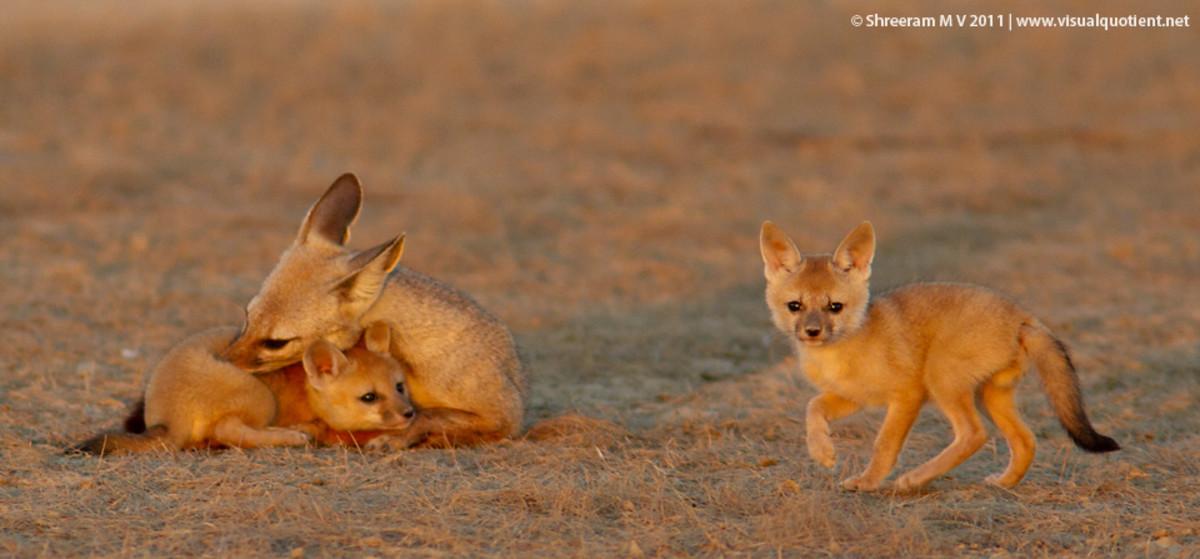 Endangered Bengal Fox or Indian Fox