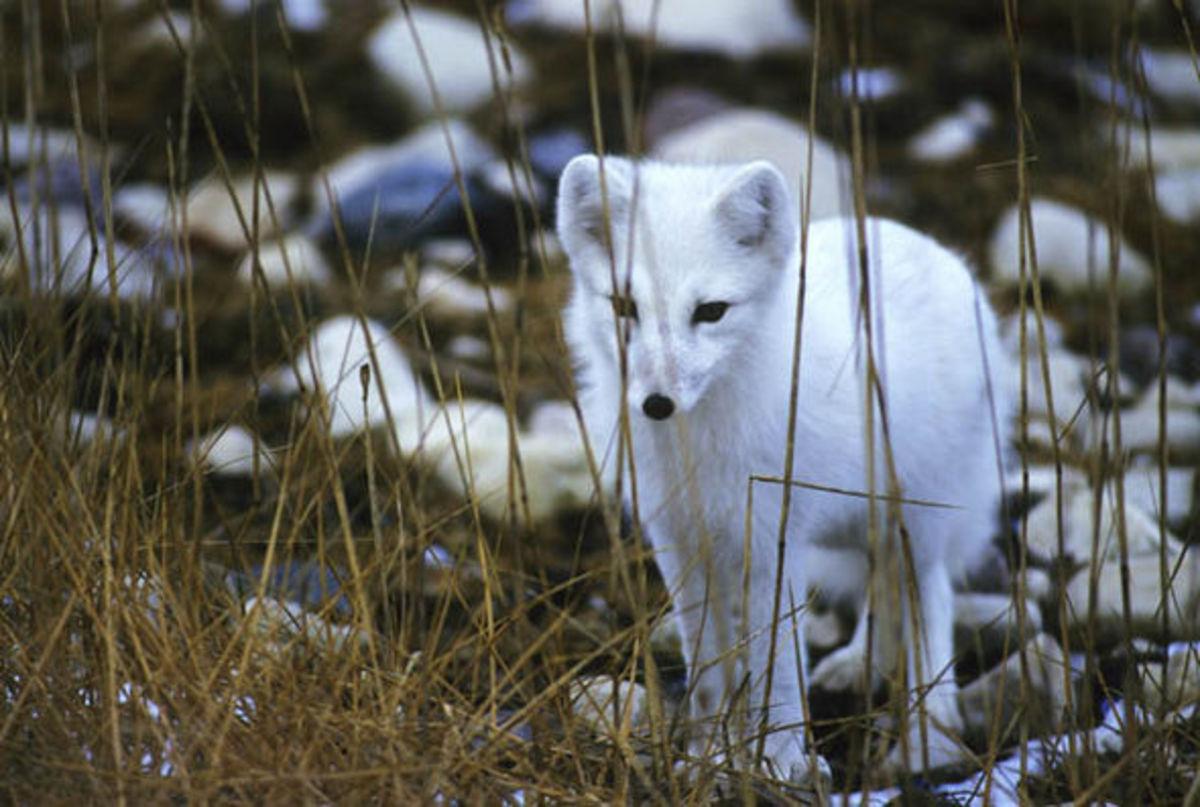 Endangered Arctic Fox