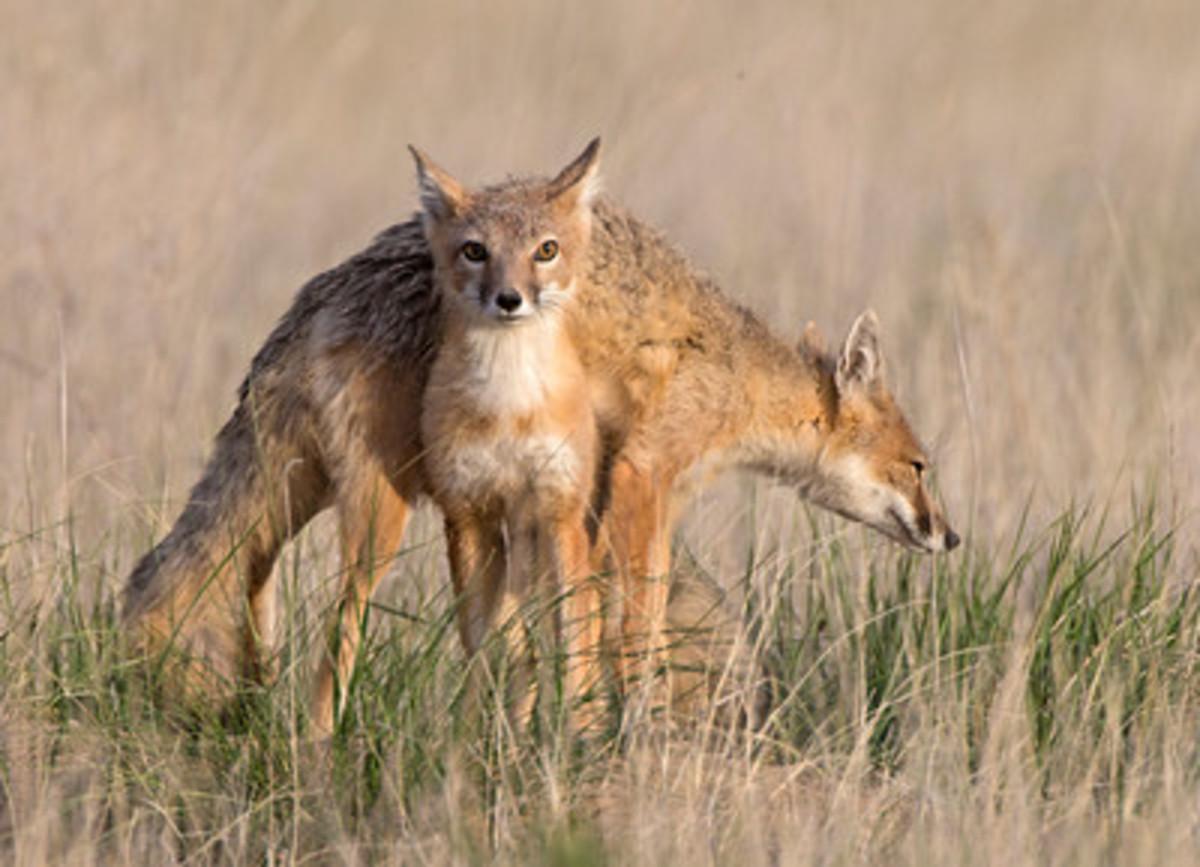 The Swift fox