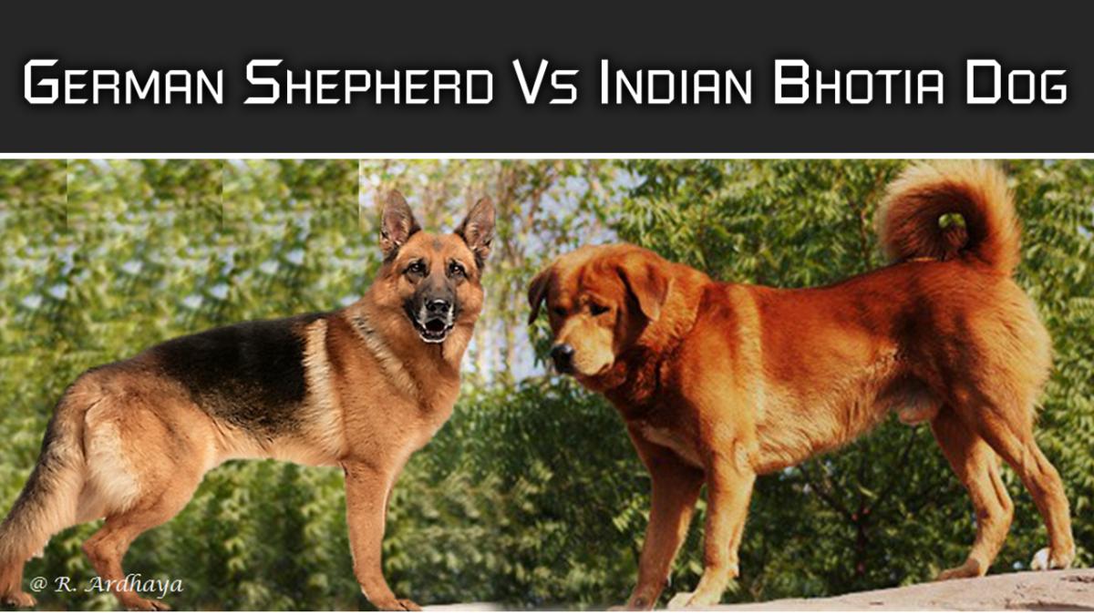 German Shepherd vs Indian Shepherd Dogs   HubPages