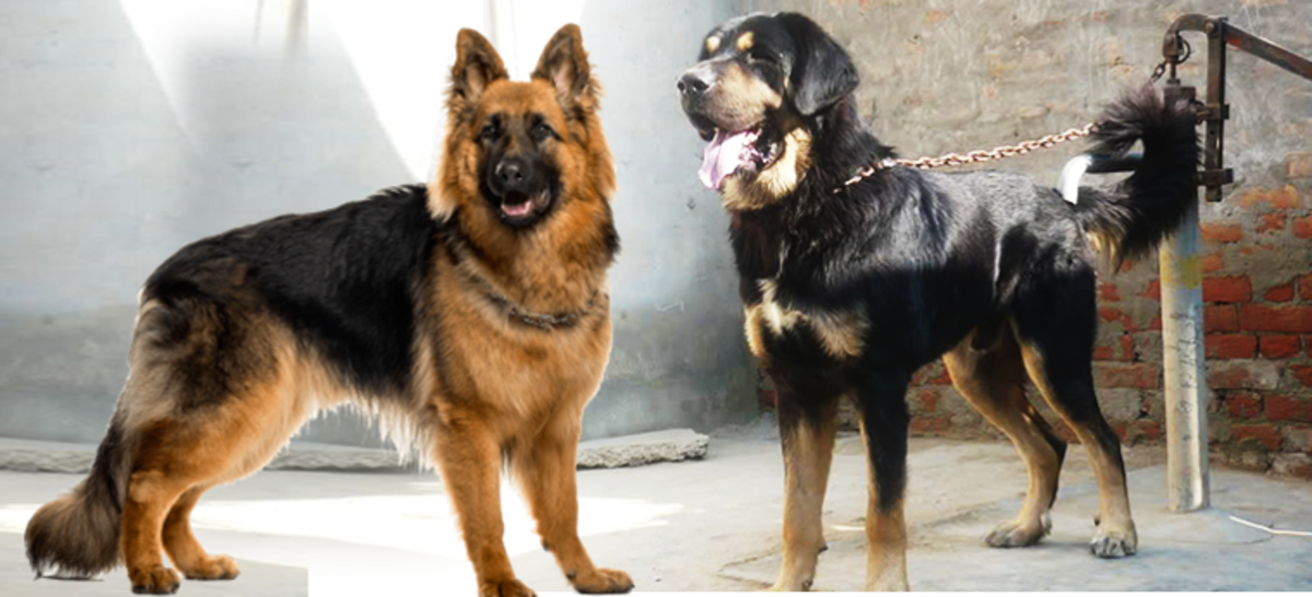 German Shepherd vs Indian Shepherd Dogs