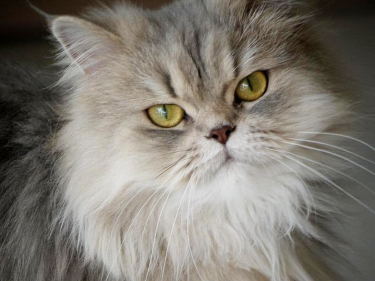 Persian Cat Breeds - The Longhair Group