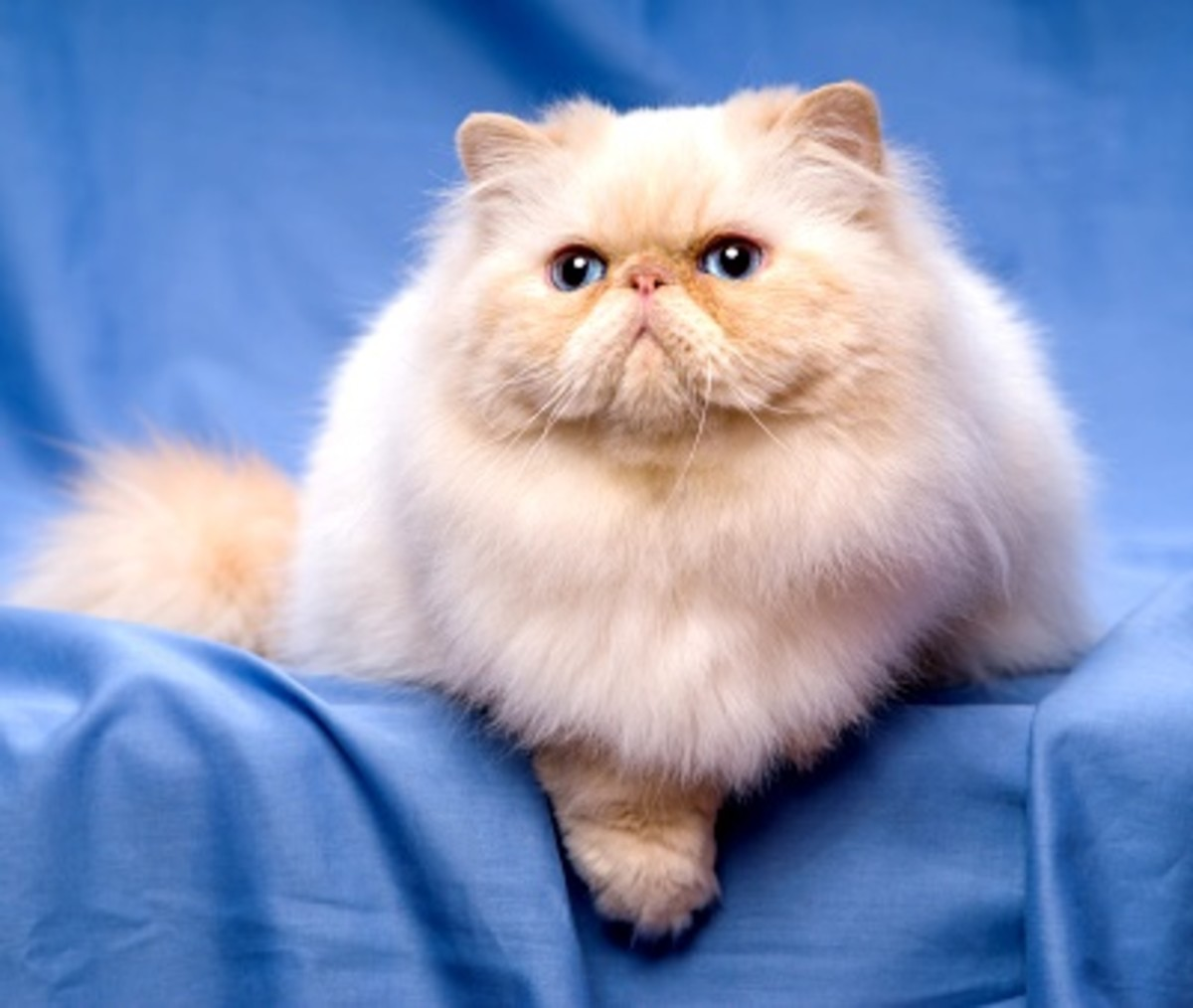 persian-cat-breeds-the-longhair-group