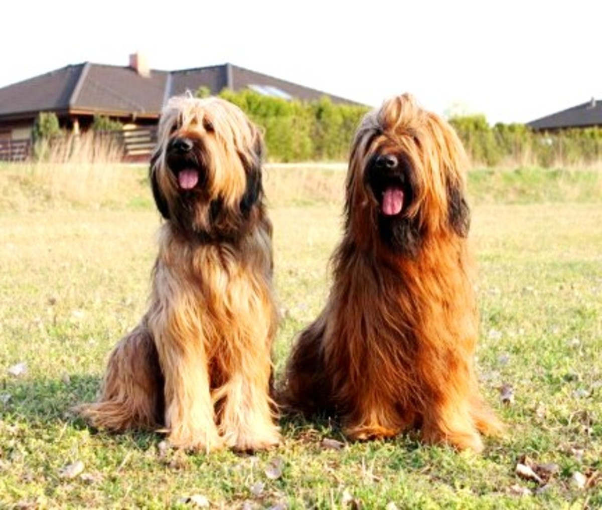 The Briard - Interesting Dog Breed Information
