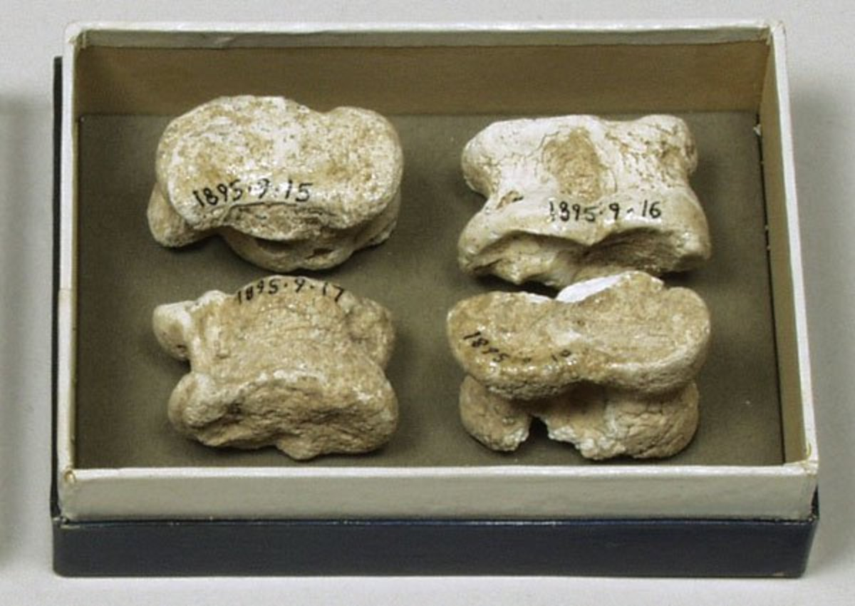 Knucklebones collected by Henry Balfour for the Pitt Rivers Museum, University of Oxford, in 1895.