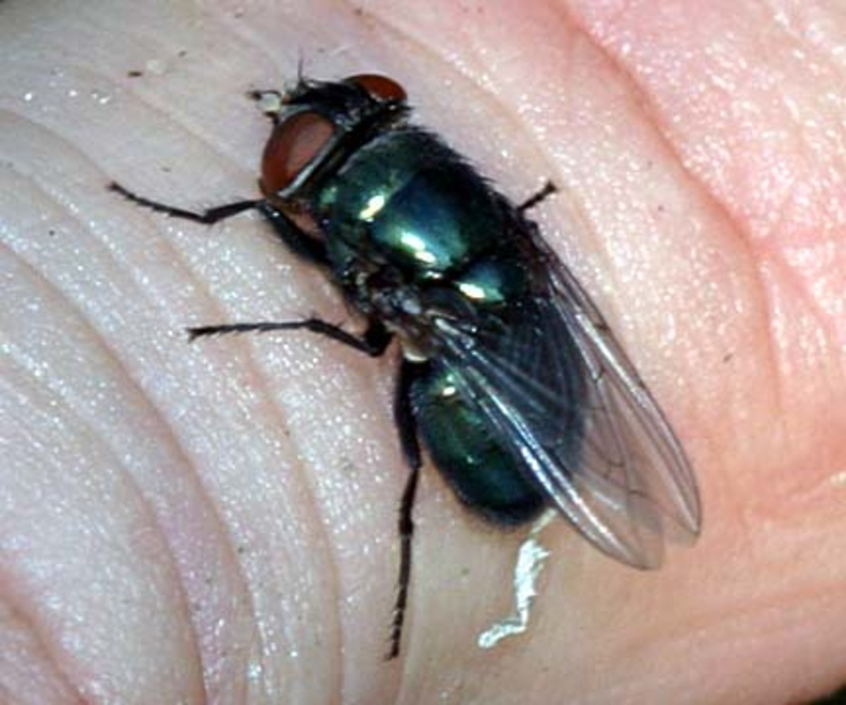 A black blow fly, the species used to determine when Danielle died