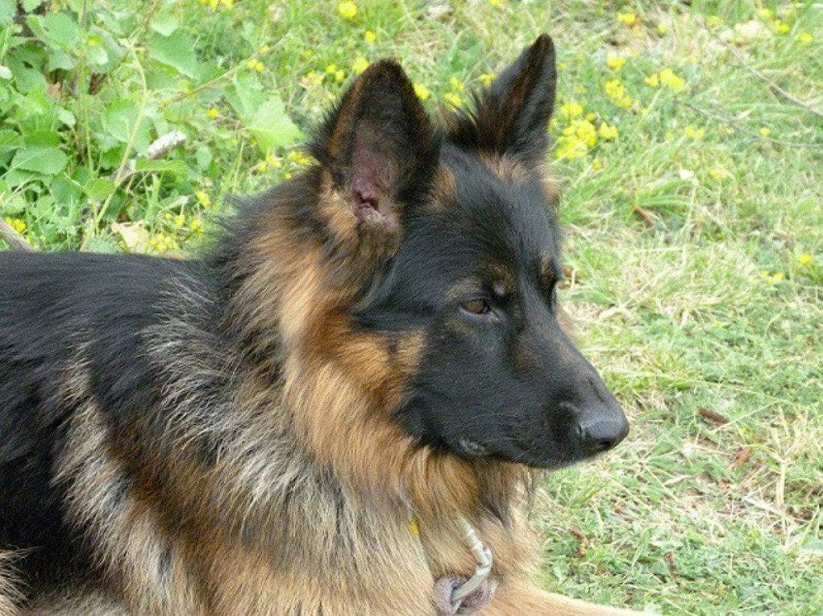 choosing-a-name-for-your-german-shepeherd