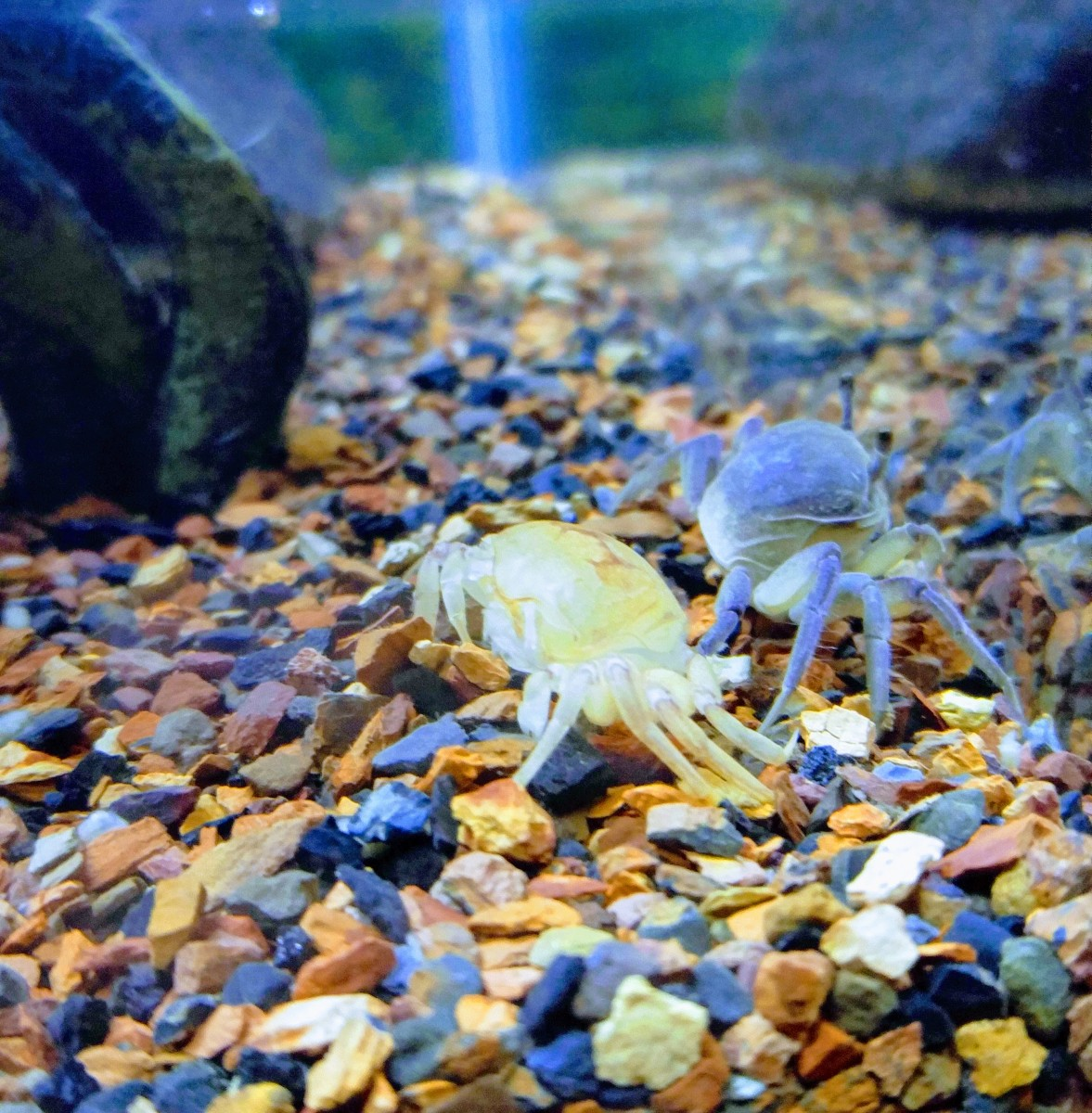 A fiddler crab after it molted.  The exoskeleton can be seen next to the crab.