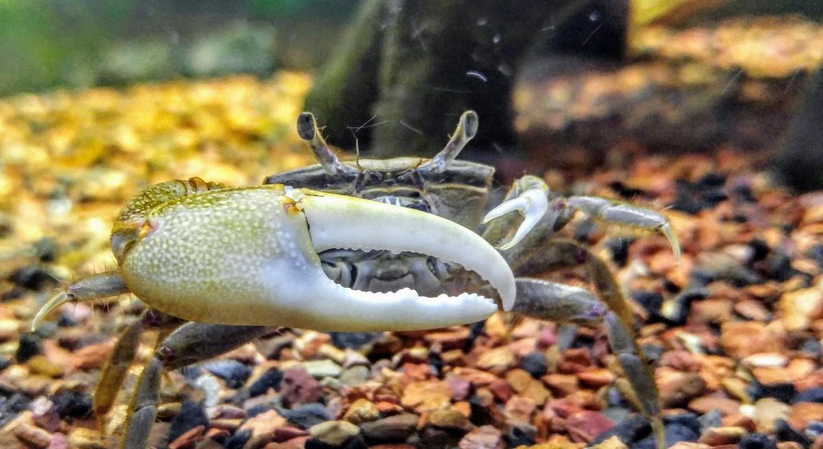A male fiddler crab