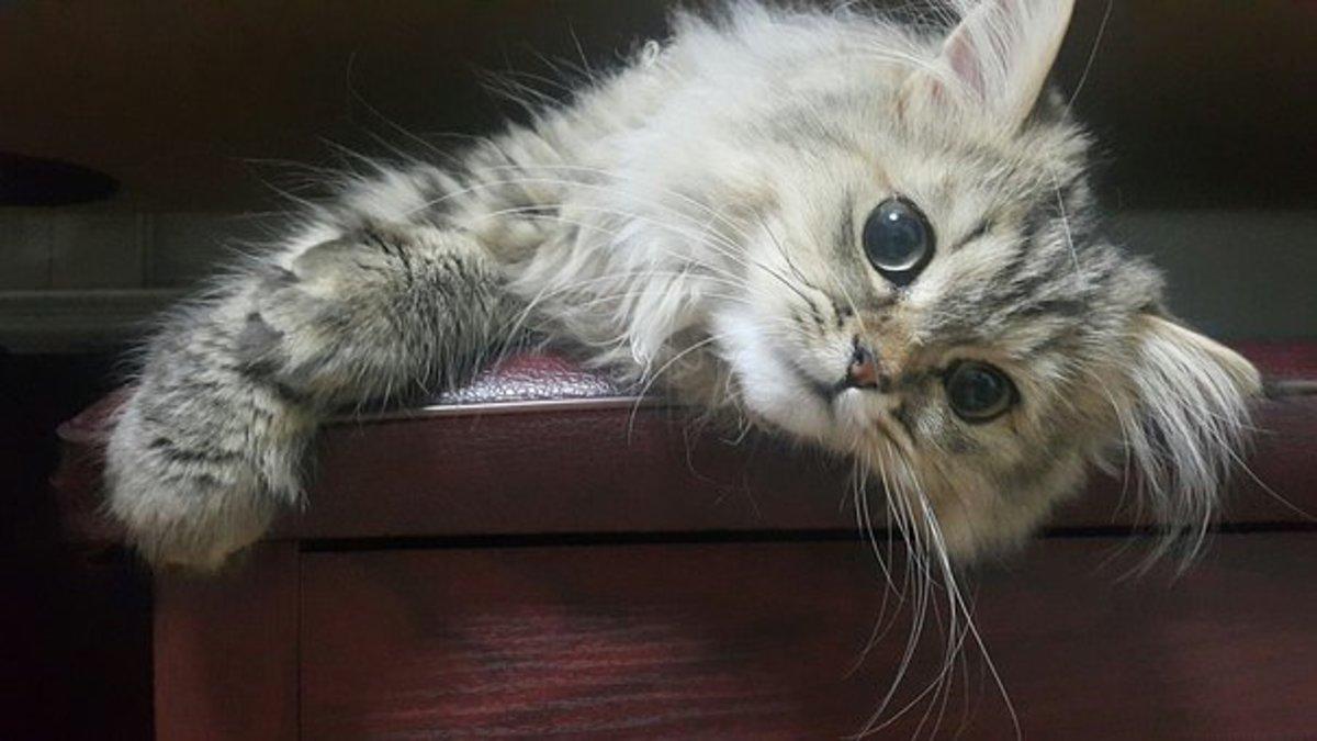 Persian kitten awaiting a name.