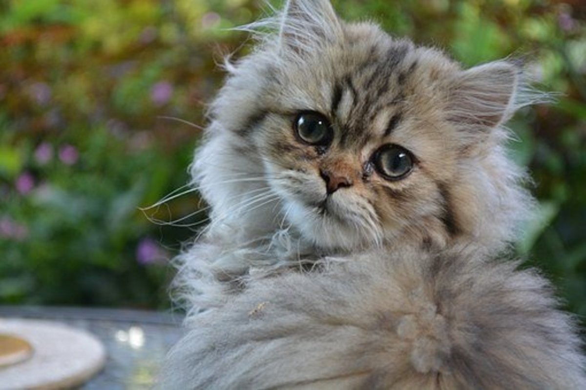 A wise Persian cat waiting for your naming ideas.