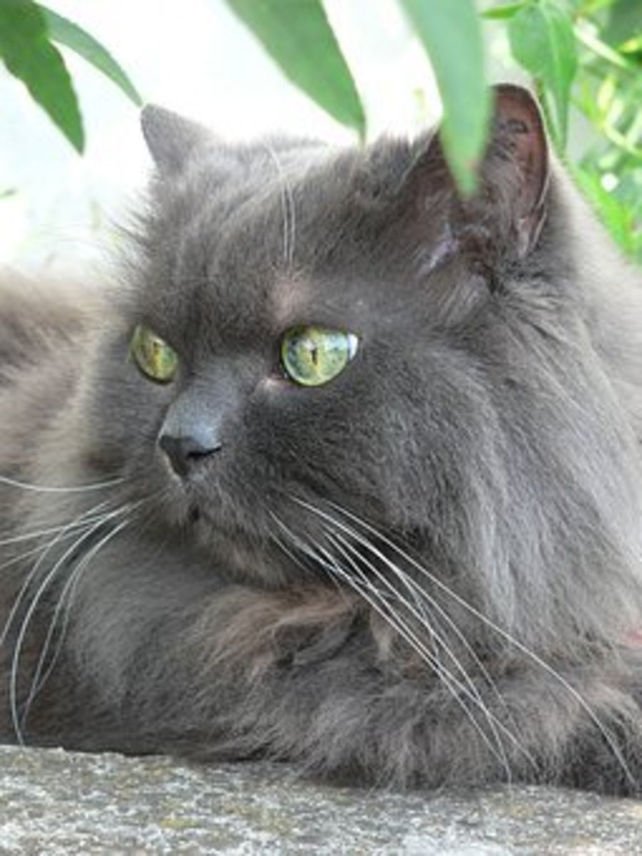 This noble Persian cat could be a Vanant.