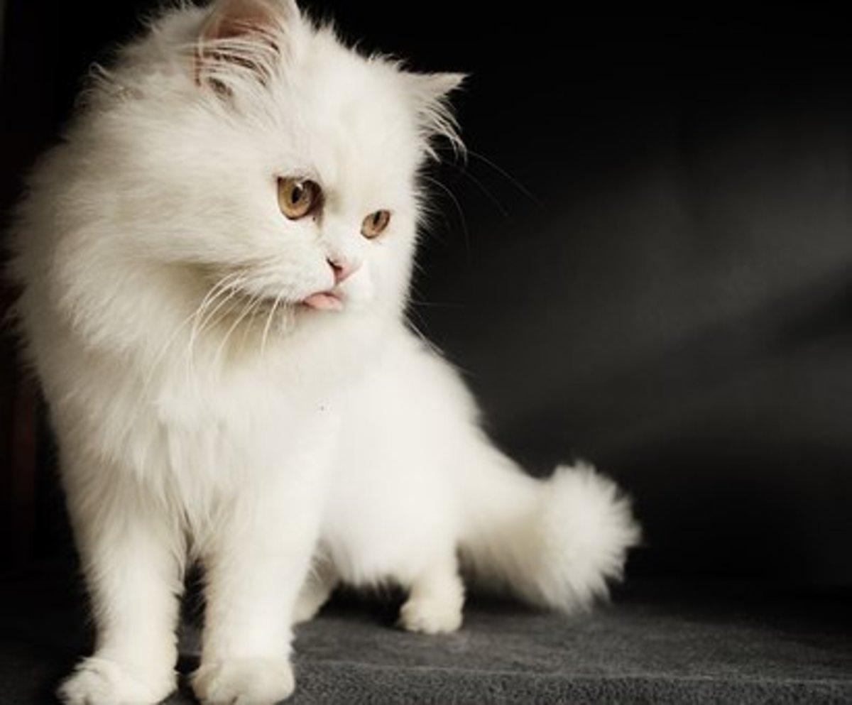 A beautiful white Persian cat.