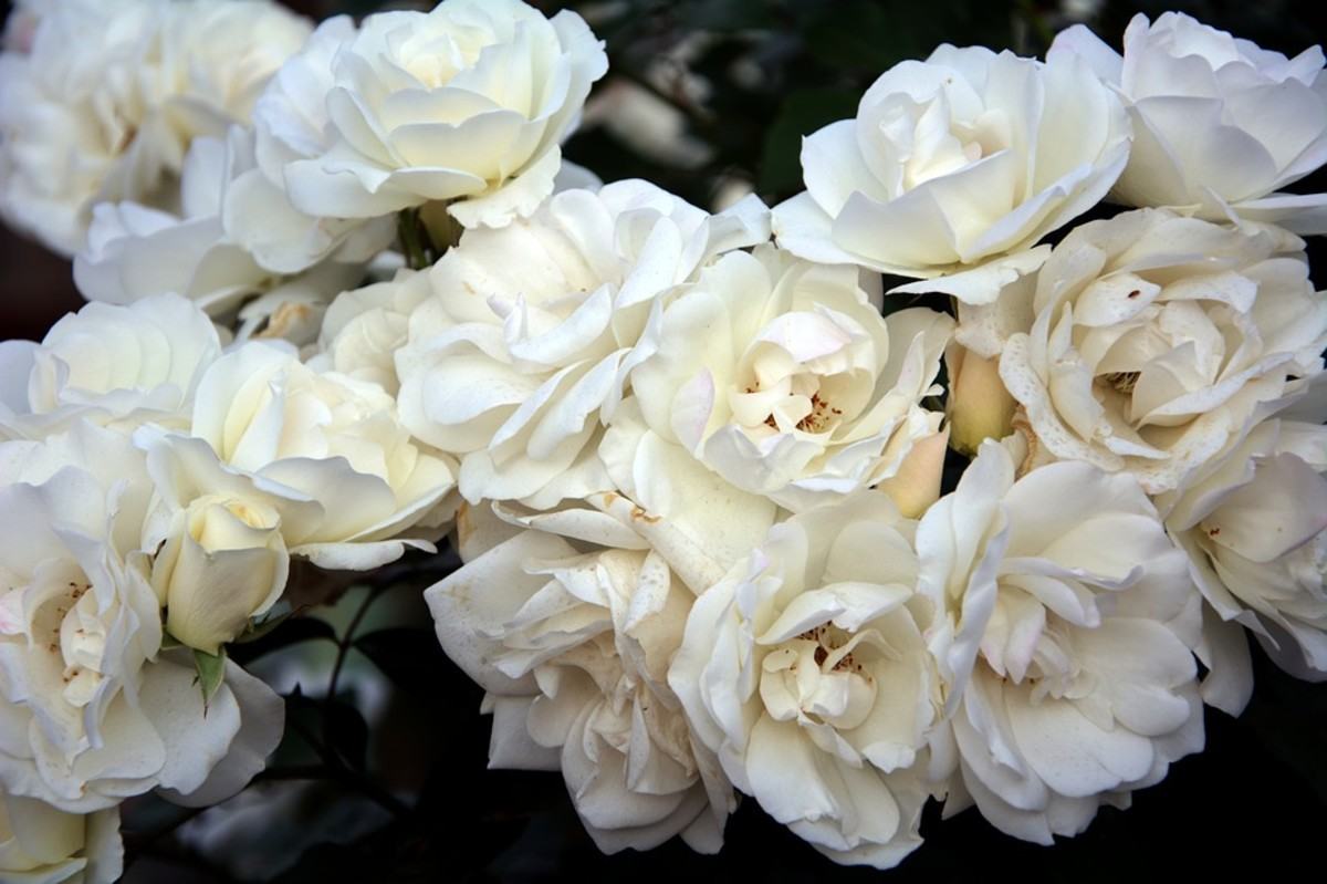 The Iceberg rose remains a top seller.