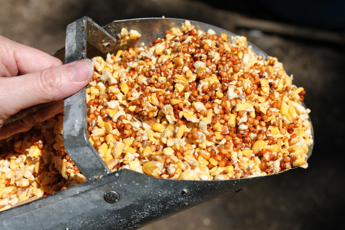 Most forms of dry chicken feed can be fermented easily, including scratch grains.