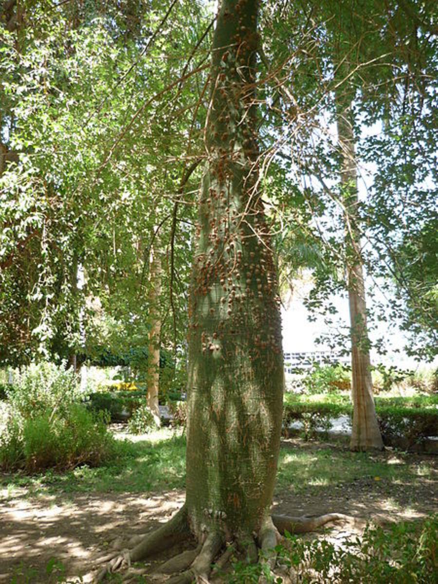 Floss silk tree trunk - Ceiba speciosa.