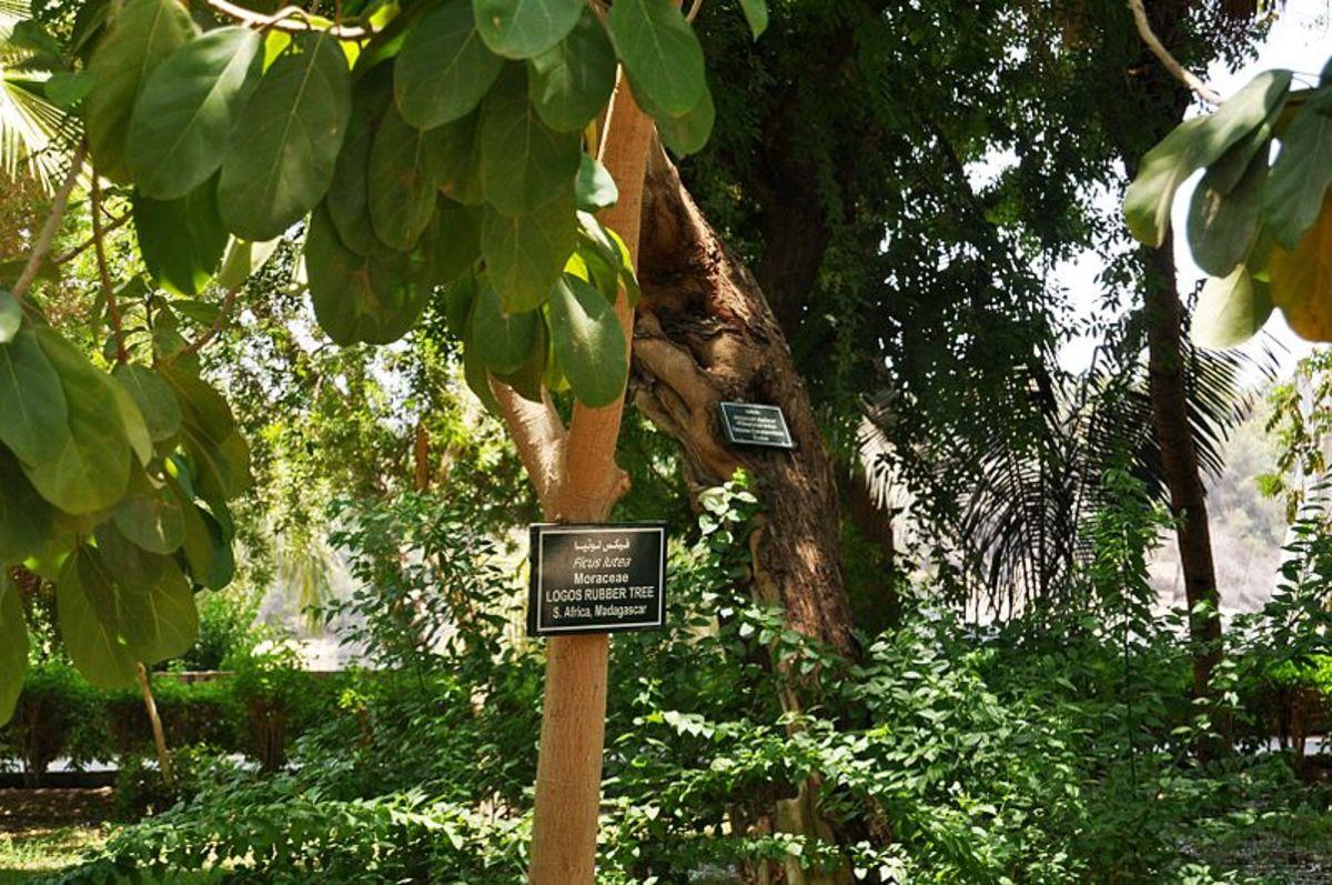 Giant-leaved fig in the Aswan Botanical Garden, Egypt.