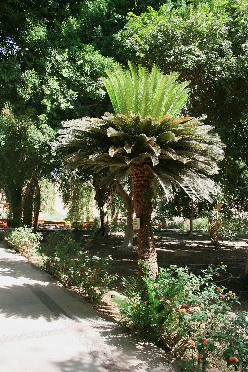 Cycas revoluta - sago palm.
