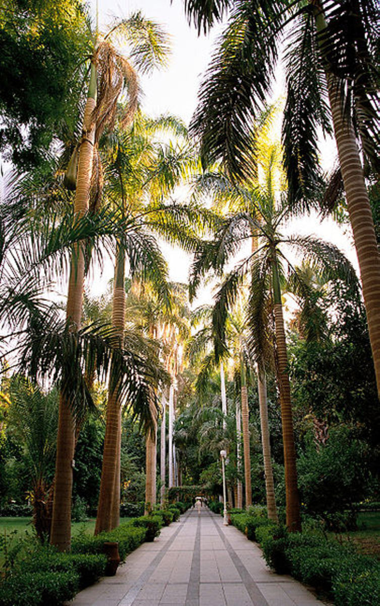 Palm tree avenue of Roystonea regia palms in the Aswan Botanical Garden on Kitchener's Island in the Nile, Aswan, Egypt.