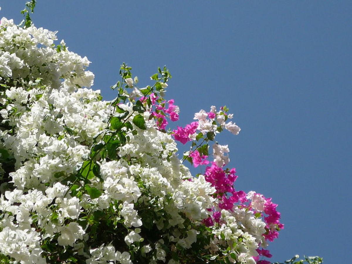 Bougainvillea cultivars blooming.