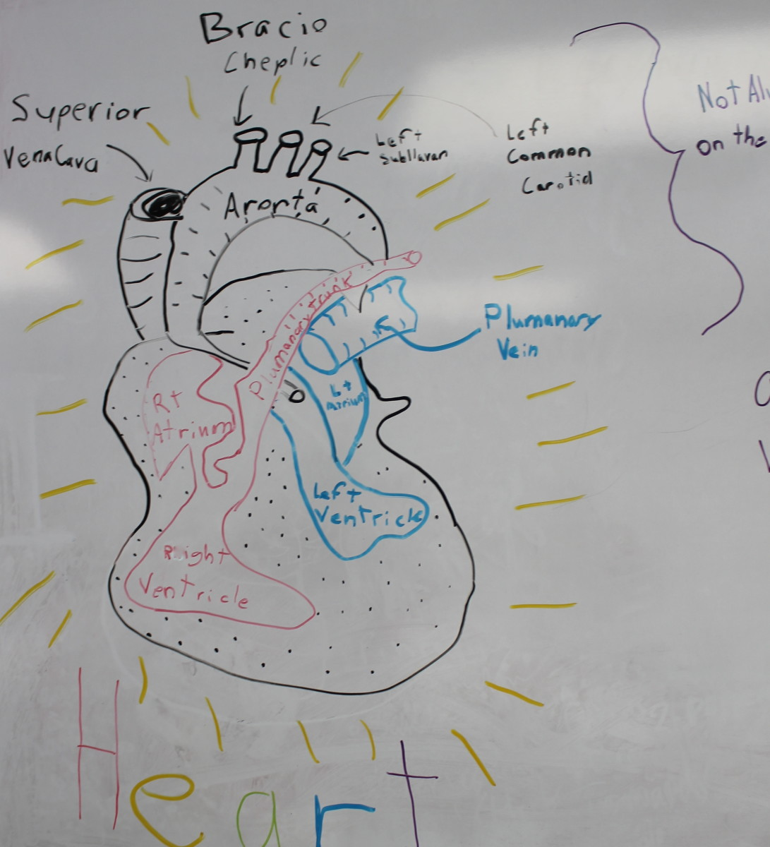Explaining the parts of the heart before we begin the dissection