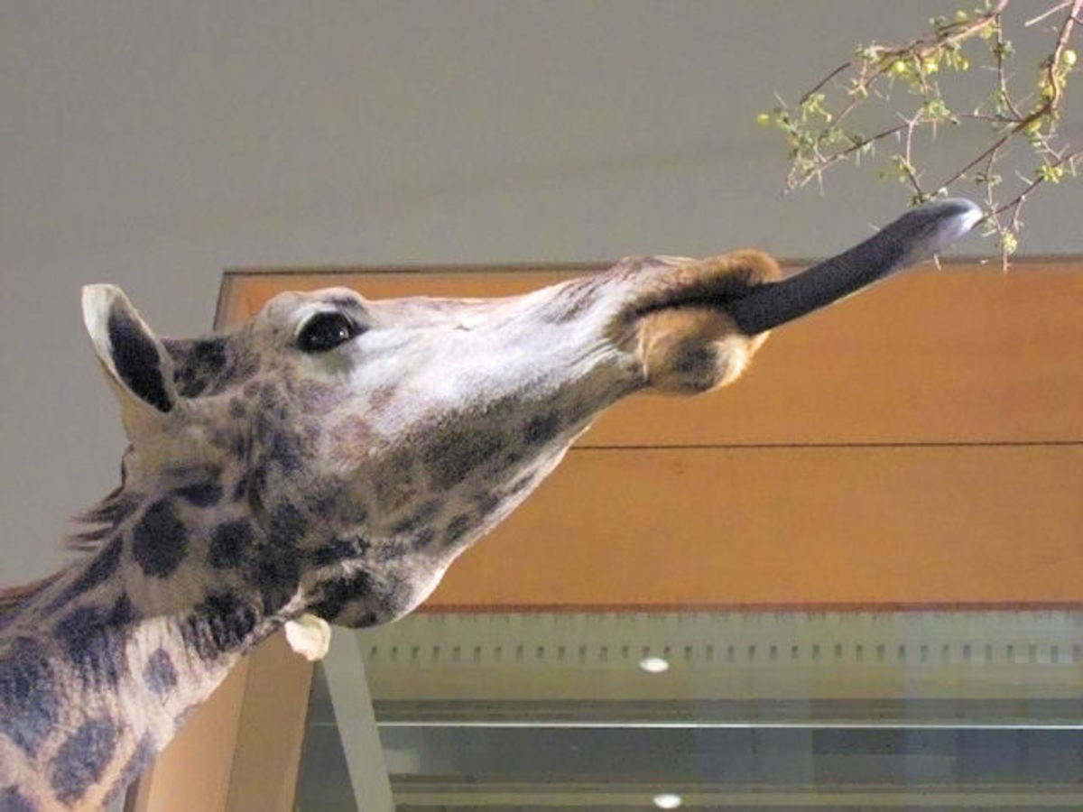 A Giraffe using his tongue to grab leaves from an acacia tree